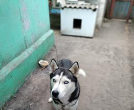 Сибирский хаски приглашает на вязку - фото 1 к объявлению