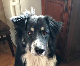 Невероятно красивый пес Байкал ищет дом. - фото 1 к объявлению