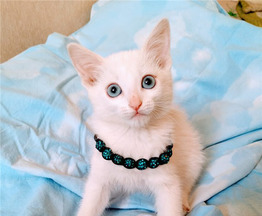 Белоснежный котенок в добрые руки. - фото 1 к объявлению
