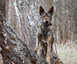 Умнейшая собака Линда в добрые руки. - фото 1 к объявлению