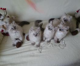 Продается невская маскарадная кошка (сибирский - фото 1 к объявлению