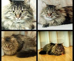 Сибирская кошка ищет заботливых хозяев - фотография  к объявлению