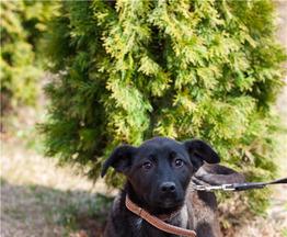 Отдам в дар, в самые добрые руки щенка метиса шоколадного окраса – Софи! - фото 1 к объявлению