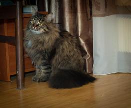 Сибирский кот ищет заботливых хозяев - фотография  к объявлению
