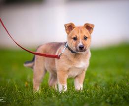 Ищет дом замечательный щенок Гриша - фото 1 к объявлению