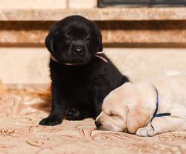 Продается щенки лабрадор ретривер - фото 1 к объявлению