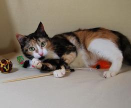 Кошка Лайма с окрасом калико в дар. - фото 1 к объявлению