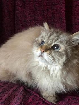 Невская маскарадная кошка (сибирский - фото 1 к объявлению