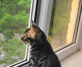 Продается бенгальская кошка (бенгал) - фотография  к объявлению