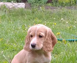 Продаются щенки русского охотничьего спаниеля - фото 1 к объявлению