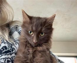 Шоколадные котята  в добрые руки. - фото 1 к объявлению