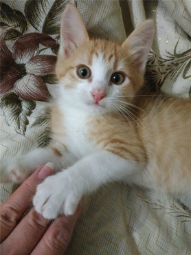 Котенок Шустрик в дар - фото 1 к объявлению
