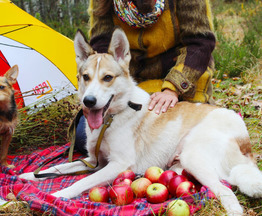 Собака метис лайки  ищет заботливых хозяев - фотография  к объявлению