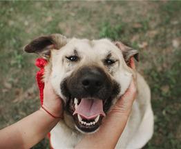 Большая собака Арья в добрые руки. - фото 1 к объявлению