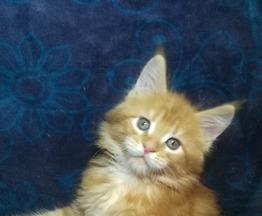 Продается мейн кун (американская енотовая кошка) - фотография  к объявлению
