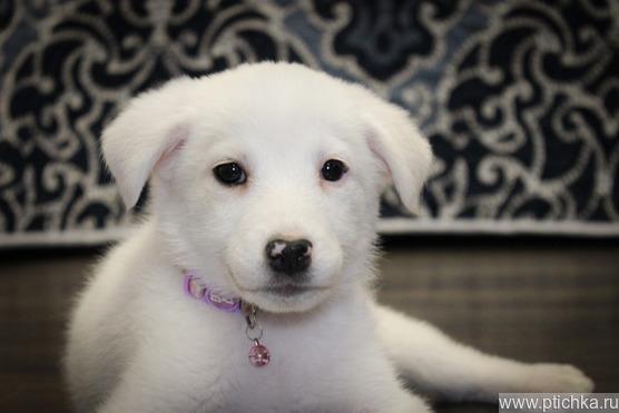 Маленькая щено-девочка Милочка пристраивается в добрые руки. - фото 1 к объявлению