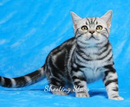 Продается американская короткошерстная кошка - фото 1 к объявлению