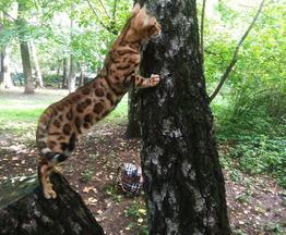 Продается бенгальская кошка (бенгал) - фото 1 к объявлению
