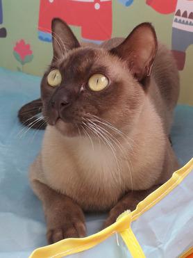 Продается бурма (бурманская кошка) - фото 1 к объявлению