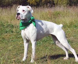 Уникальный щенок боксера Моника ищет дом - фото 1 к объявлению