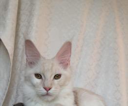 Мейн кун котенок - фотография  к объявлению