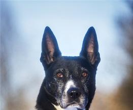 Красивый пес Бим ищет семью. - фото 1 к объявлению