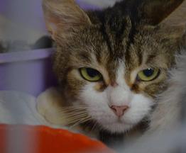 Скромная и загадочная кошка Апрелька в добрые руки - фото 1 к объявлению