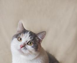 Обворожительная, уютная, некрупная кошка Элис в добрые руки - фото 1 к объявлению
