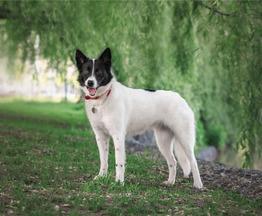 Красивая собака Герти в добрые руки. - фото 1 к объявлению