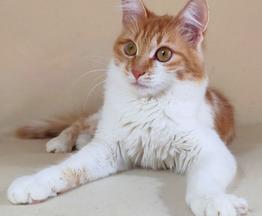 Миниатюрная ласковая кошка - фото 1 к объявлению
