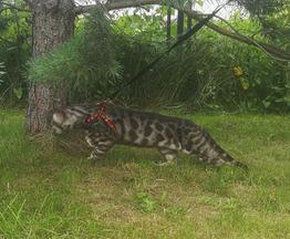 Бенгальская кошка (бенгал) приглашает на вязку - фото 1 к объявлению
