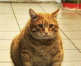 Кот Кузьма-9 кг невероятного обаяния ищет чутких и заботливых хозяев. - фото 1 к объявлению