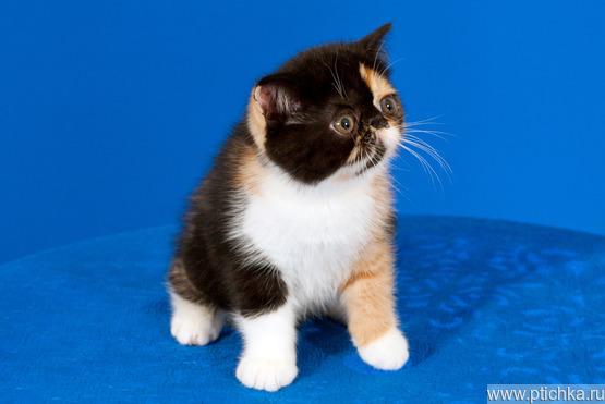 Продается экзот (экзотическая короткошерстная кошка) - фото  к объявлению