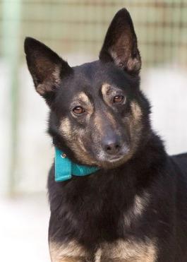 Знакомьтесь с Асей -самой идеальной собакой для неспешных прогулок! - фото 1 к объявлению