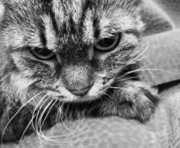 Сибирская кошка ищет заботливых хозяев - фото 1 к объявлению