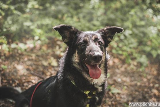 Чудесная собака Лада в добрые руки. - фото 1 к объявлению