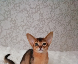 Очаровательные абиссинские котята - фото 1 к объявлению