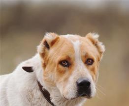 Алабай Артур -спокойный и верный друг - фото 1 к объявлению