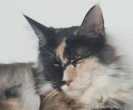 Продается мейн кун (американская енотовая кошка) - фото 1 к объявлению
