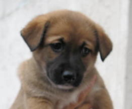 Ищем добрых хозяев для щенков дворовой породы - фотография  к объявлению