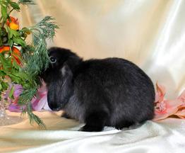 """Декоративный кролик из питомника """"красная жемчужина"""" - фото 1 к объявлению"""