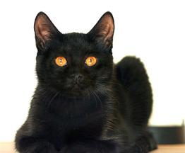 Шикарррная чёрная пантера Мариша ищет дом. - фото 1 к объявлению