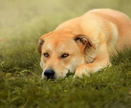 Сильный, смелый и благородный пес Арчи в добрые руки - фото 1 к объявлению