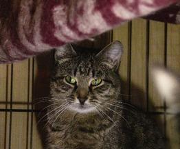 Гордая, самодостаточная и независимая кошка Мотя в добрые руки - фото 1 к объявлению