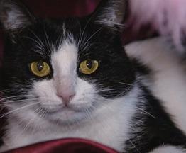 Черно-белый Маркиз – красавец кот в добрые руки - фото 1 к объявлению