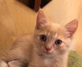 Классный Рыжий позитивный котенок в добрые руки - фото 1 к объявлению