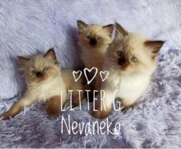 Продаются невские маскарадные котята - фото 1 к объявлению