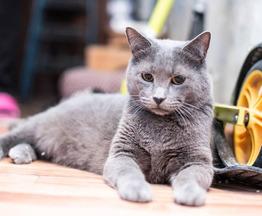 Красавец кот серо-голубого окраса в добрые руки - фото 1 к объявлению