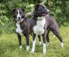 Две собаки Белка и Стрелка в добрые руки - фото 1 к объявлению
