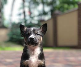 Милый маленький малыш-щенок в добрые руки - фото 1 к объявлению